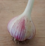 German Porcelain Garlic